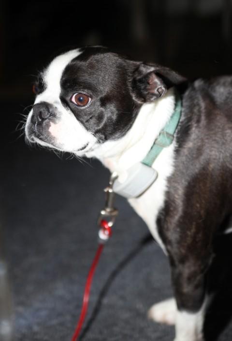 bastard terrier
