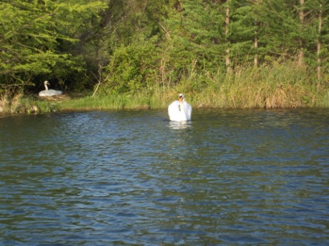 swan attack at red bud isle