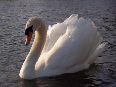 rbi attack swan