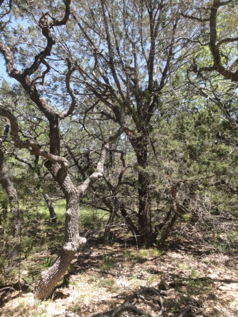 cedar tree deprives oaks of precious resources