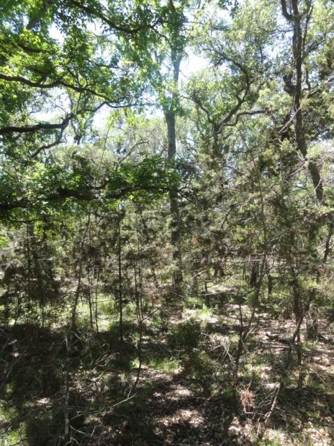 cedar tree takeover