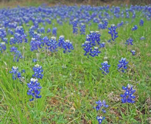 spring 2014 bluebonnets wimberley texas