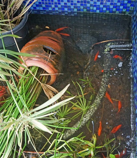 raccoon destruction of koi pond and snails
