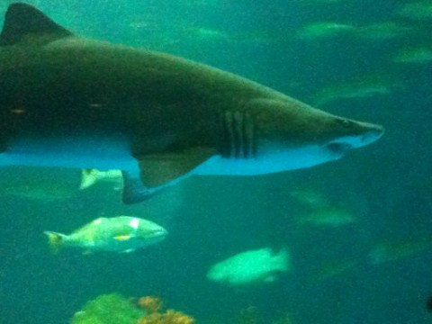 sea world san antonio sharks