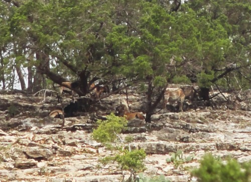 wild mountain goats ram at garner state park texas