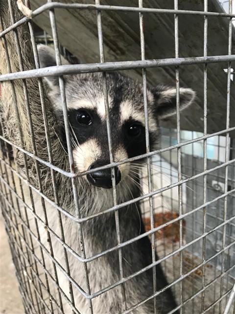the MASTERMIND family of genius raccoon