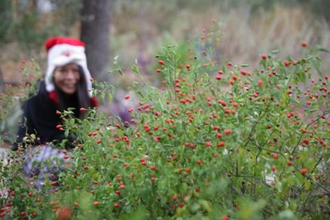 annual pequin pepper harvest