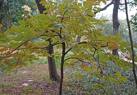 west lake hills persimon tree