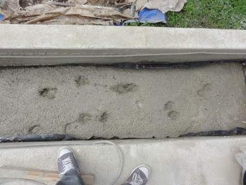 dog prints in wet concrete