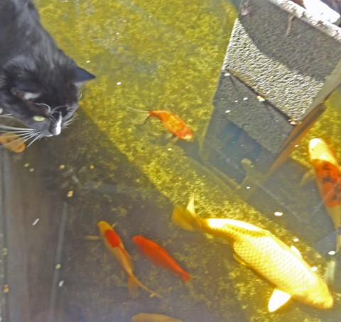housecat and koi fish