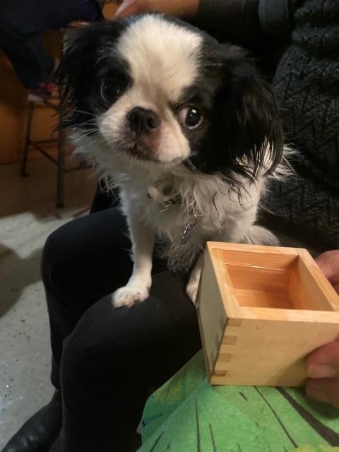 stepdog gojira chin japanese dog