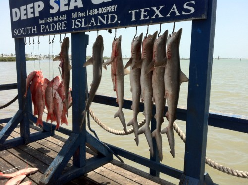 osprey deep sea fishing padre island shark red snapper