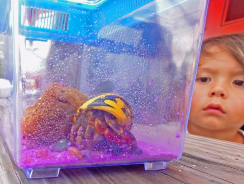 hermit crab spi south padre island tourist trap