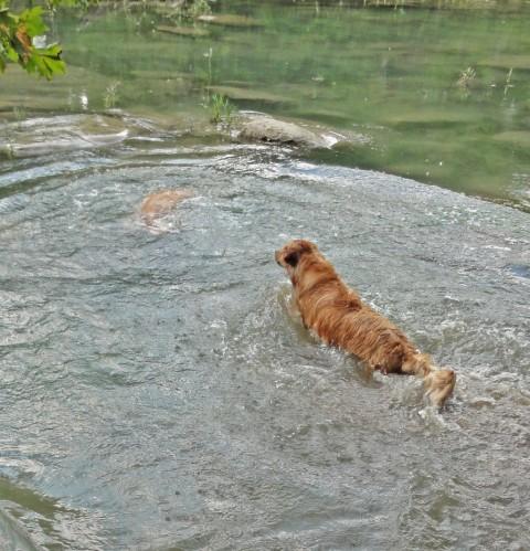 river diving dog of blanco wimberley fischer golden retriever