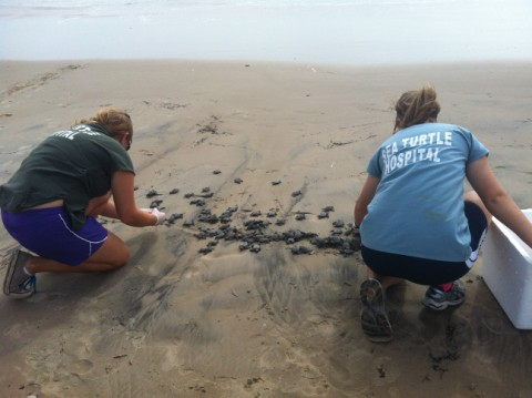 baby sea turtle release texas beaches spi south padre island tx