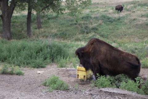 pioneer's park lincoln nebraska prarie buffalo