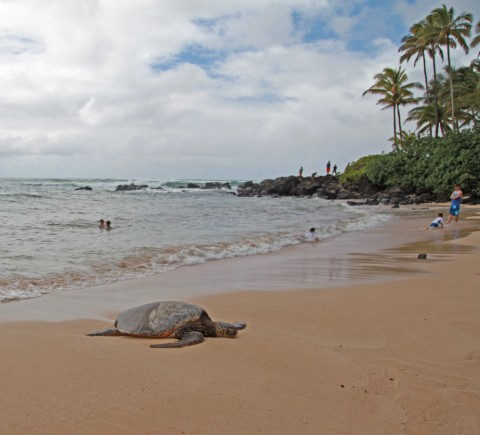 north shore sea turtle