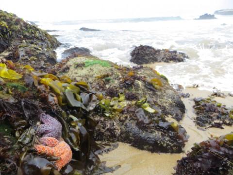 starfish pescadero state beach