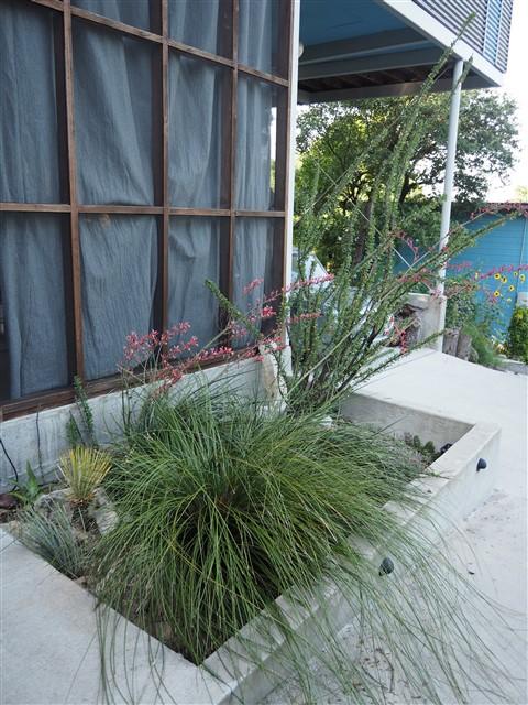 cactus garden austin ocatilla