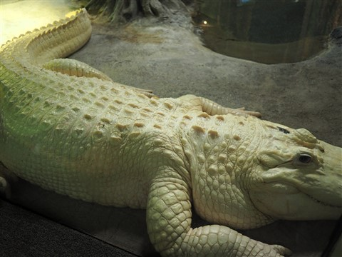 albino alligator houston zoo