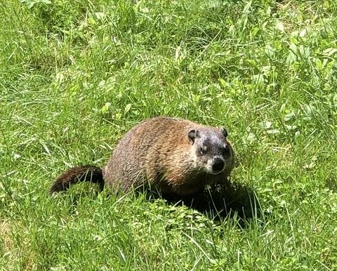 groundhog vermont albert