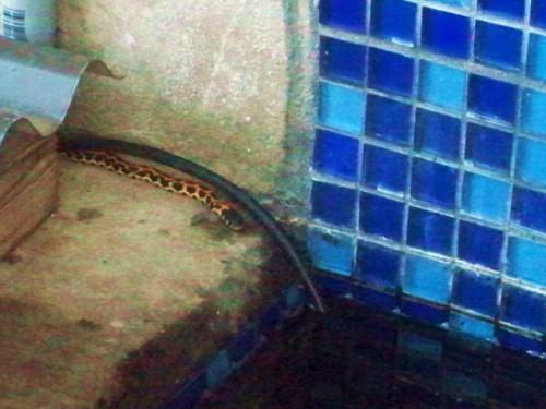 ribbon garter snake of austin, texas