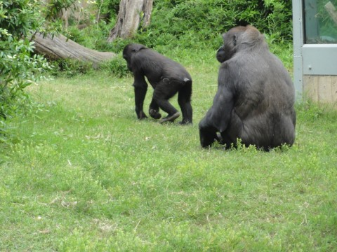 great apes at the national zoo