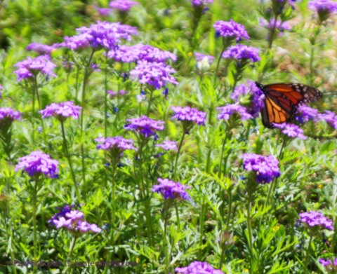 wimberley monarch butterfly on texas wildflowers