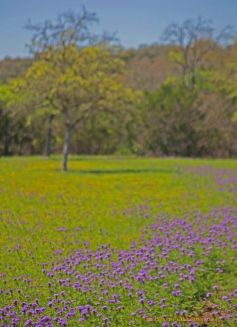 texas wildflowers 2012 wimberley fischer tx
