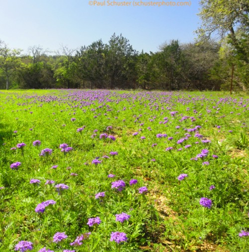 texas hill country wildflowers wimberley 2012