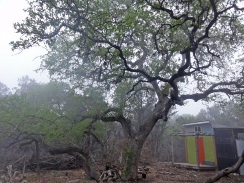 hundred year old oak wimberley