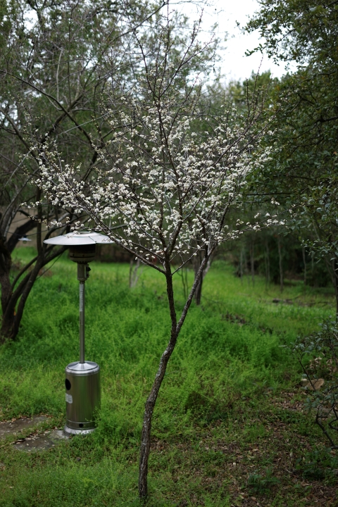 Mexican Plum Tree bloom west lake hills 78746