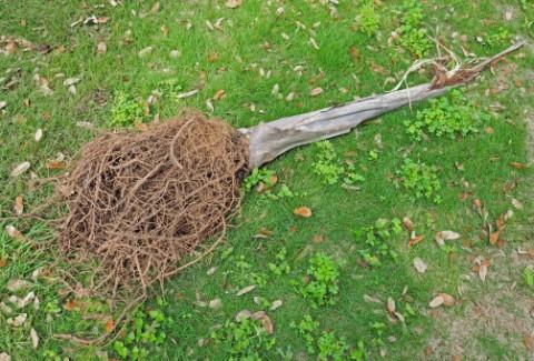 dead queen palm austin