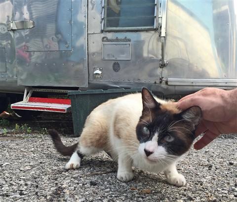 feral cat friend snowshoe siamese