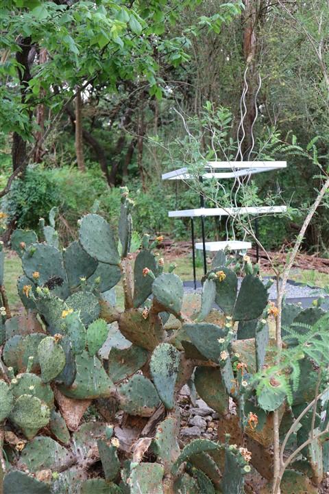 pricklypear cactus west lake hills tx