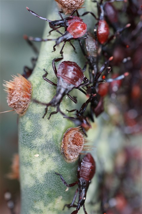 close up cochineal carmine bug