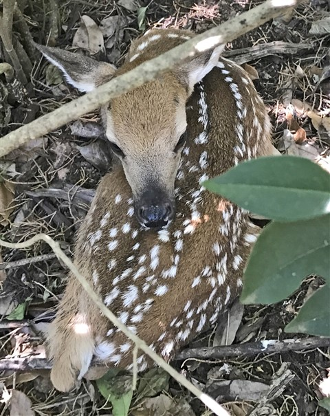 fawn in west lake hills baby deer austin