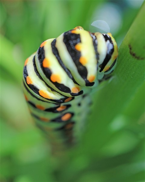 macro swallowtail caterpillar Austin