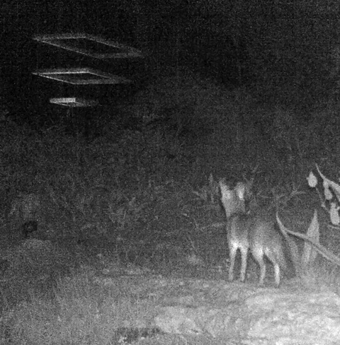 coyote watches humans 78746 austin