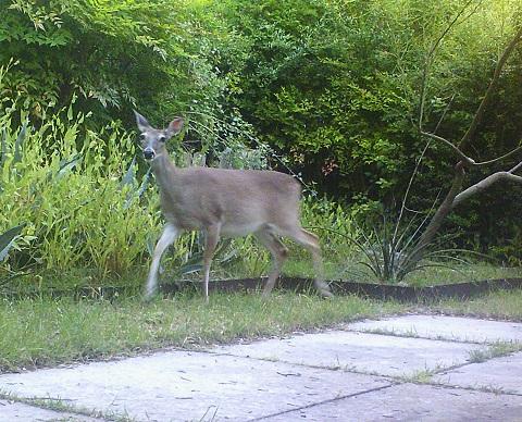 deer portraiture say cheese 78746 westlake