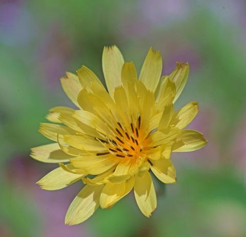central texas wildflower