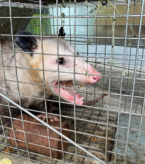 Big Poppa the Opossum