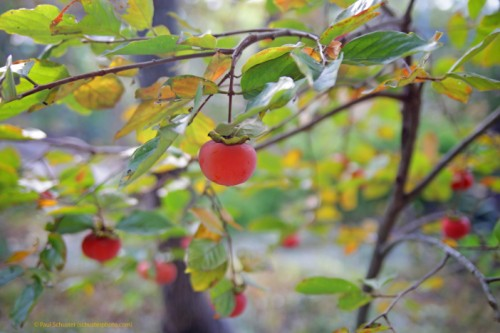 persimmon fruit austin westlake tx