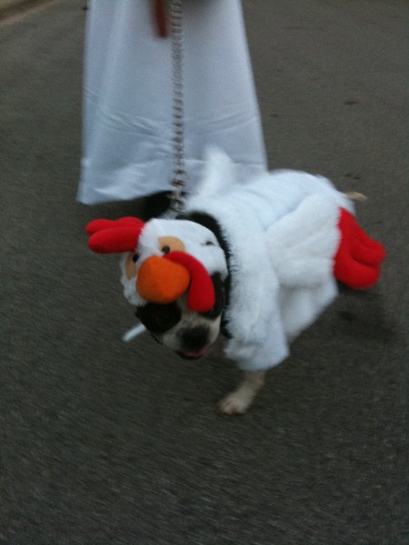 marvin the chicken dog