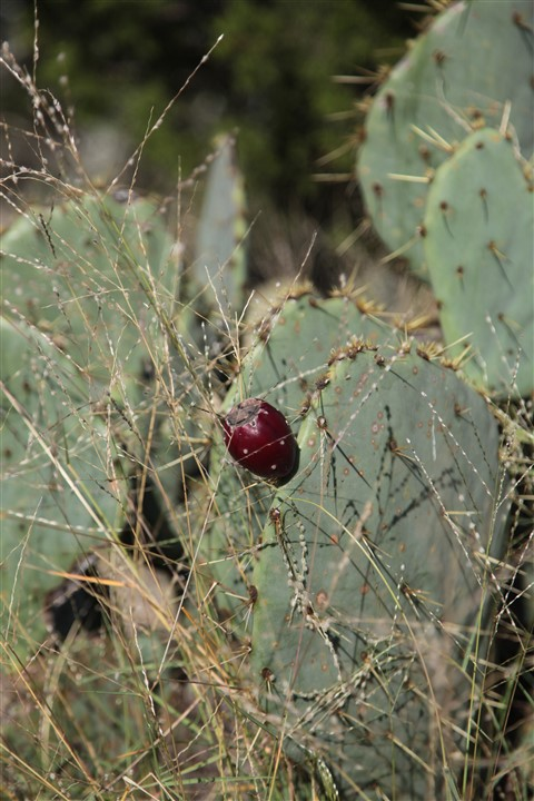 prickly pear texas