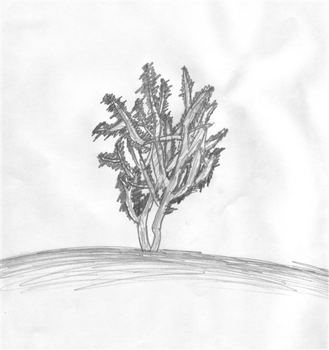 texas mesquite drawing one