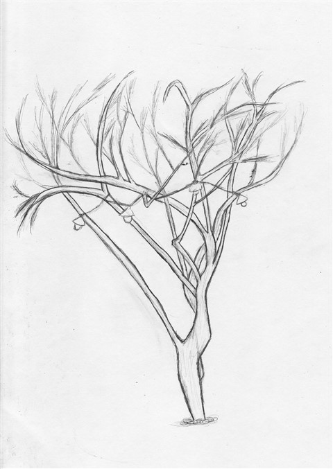 texas mesquite drawing two