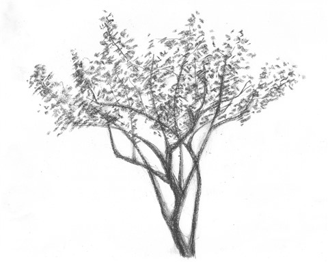 texas mesquite drawing three