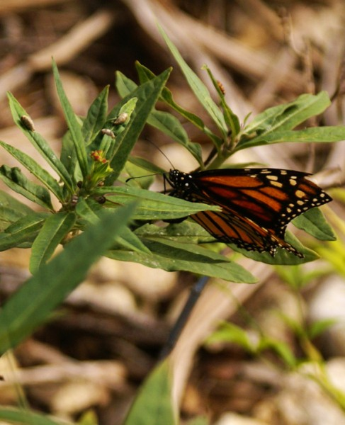 monarch butterfly at austinmodhouse