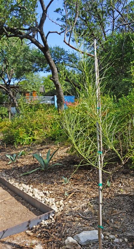 blue agave and retama